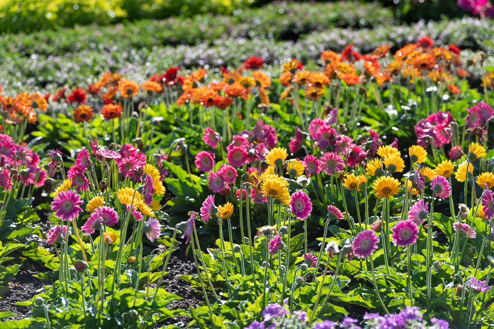 Many flowers at the CSU Trial Garden